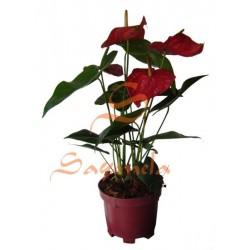 Anturio Flor Roja