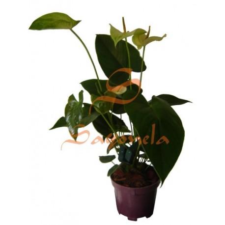 Anturio Flor Verde Amarillo