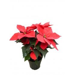 Ponsethia Navideña y/o Flor de navidad