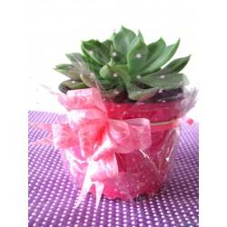 Planta Suculenta en matera plástica