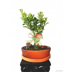 Bonsai de Naranjo