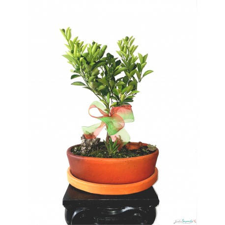 Bonsai de Naranjo