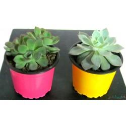 Planta Suculentas Pequeñas