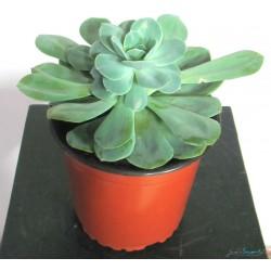 Planta Suculentas Grande