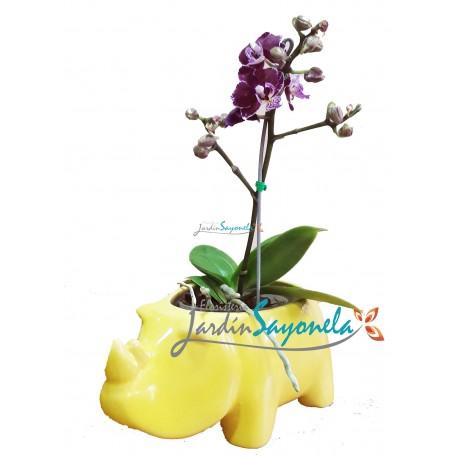 Orquidea Phalenopsis Mini