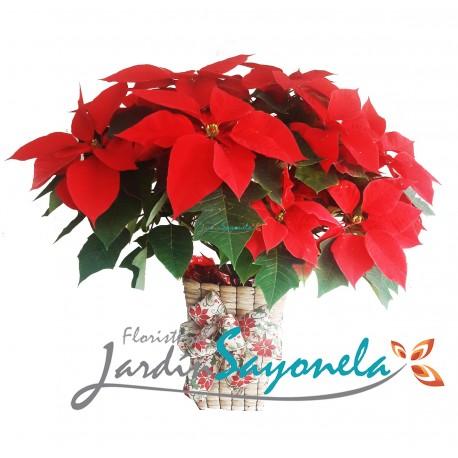 Poinsettia P24