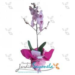 Planta de Phalaenopsis