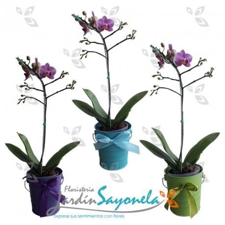 Plantas de Orquidea mini