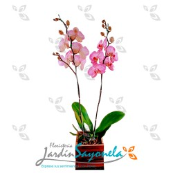 Orquídea Phanaelopsis